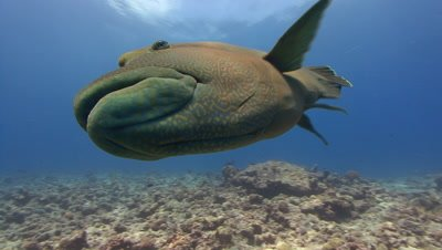 Napoleon Wrasse Very close to camera so that it touches lens