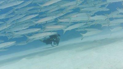 SCUBA Diver and school of Barracuda