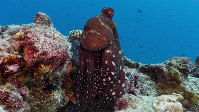 Reef Octopus displays