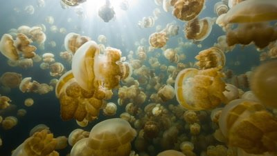 Swimming through millions of golden jellyfish