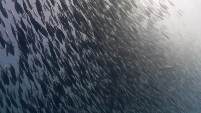 Huge school of fish in mid water move fast in unison to predator threat