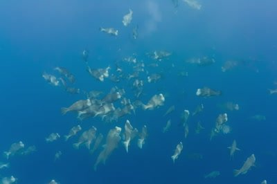Multiple spawning rushes in Bumphead parrotfish aggregation with huge clouds of gametes