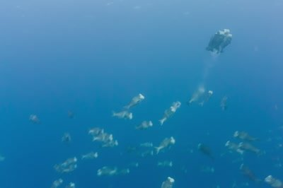 Bumphead parrotfish spawning aggregation rushes and gamete release