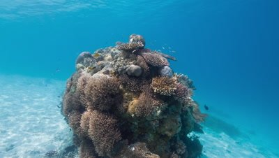 Coral head and fish in shallow tropical water