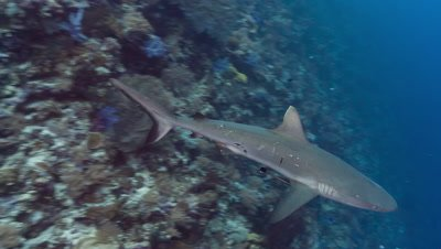 Female Gray Reef Shark with mating scars swims past viewer