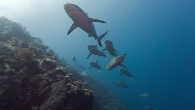 Male Gray Reef Sharks chasing female before mating