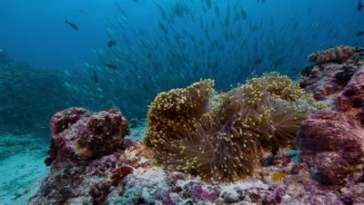 Anemone and corals in strong current with large school of fish in background