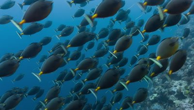 Huge spawning school of Orange-spine surgeonfish chased by sharks swims past camera