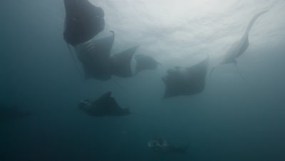 10 Manta Rays swim and barrel feed