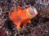 Orange Frogfish Yawning Wide!