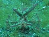 Pink Ambon Scorpionfish Eats Shrimp!