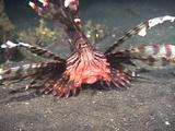 Lion Fish Hunting, Catches Fish