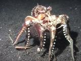 Octopus Carries Shell Across Sand