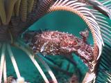 Papuan Cuttlefish Below Crinoid