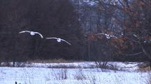 Trio Of Japanese Red Crowned Cranes Landing 004