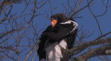 Stellar Sea Eagle Preening In Tree 005