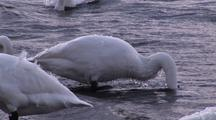 Whooper Swans Adults Feed On Lake Algae Japan