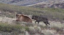 Black Wolf Harasses Grizzly Bear  018