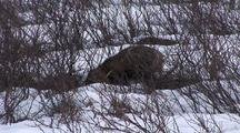 Cross Fox Caches Snowshoe Hare In Snow  022
