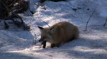Red Fox Hunts Voles In Snow  024