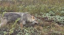Gray Wolf Hunts In Rain  027
