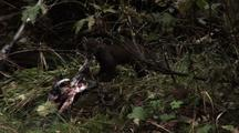 Pine Marten Drags Salmon Skin  029