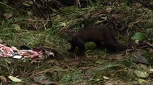 Pine Marten Drags Salmon Skin  030