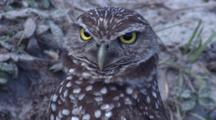 Burrowing Owl Rotates Head Observation And Lookout  At Den Site Fl