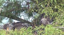 Immature Yellow Crowned Night Heron Nest With Chicks La