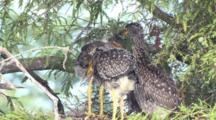 Immature Yellow Crowned Night Heron Chicks Billing Grooming Stretching La
