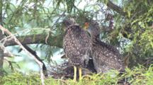 Immature Yellow Crowned Night Heron Chicks In Nest Standing Stretching La