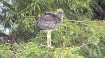 Immature Yellow Crowned Night Heron Chick Standing Stretching Fluffing La
