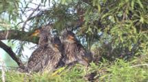 Immature Yellow Crowned Night Heron Chicks Huddled In Nest One Regurgitates  La
