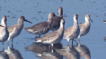 Flock Of Dowitchers Wade In Salt Water Lagoon Fl