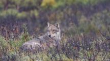 Gray Wolf Adult Lies Tundra - Head To Sky Howls Ak