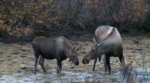 Moose Cow And Calf Feed Kettle Pond Alaska