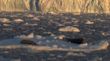 2 Leopard Seals On Sea Ice Antarctica