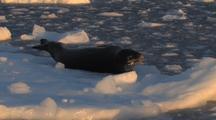 Leopard Seal On Sea Ice Antarctica