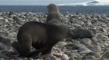 Antarctic Fur Seals On Rocky Beach Antarctica