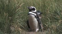 Magellanic Penguin Adult And Chick At Den Site Antarctica