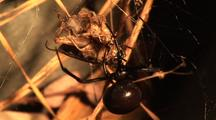 Black Widow Female Wraps Prey In Silk