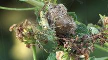 Green Lynx Spider And Prey Wrapped In Silk Web