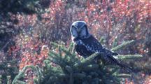 Northern Hawk Owl In Spruce Tree Alaska