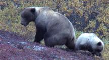 Grizzly Sow And Cub Digs Catches  Arctic Ground Squirrel