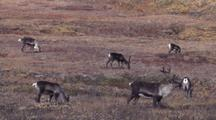 Caribou Herd Grazing Fall Tundra In Alaska