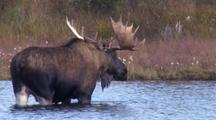 Bull Moose Feeding Kettle Pond Fall Alaska