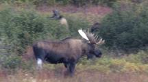 Bull Moose Near 3 Cow Moose Fall Alaska
