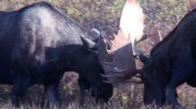 Bull Moose Sparring In Fall Tundra Alaska