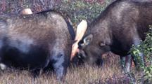Bull Moose Sparring In Fall Tundra Alaska