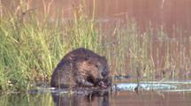 Beaver Feeds On Grass At Edge Of Kettle Pond